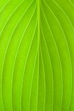 Leaf Texture. Close up of a hostas plant leaf Royalty Free Stock Images