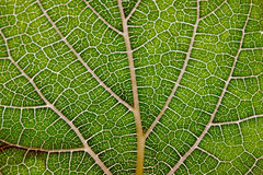 Leaf texture abstract background with closeup view on veins Royalty Free Stock Photo