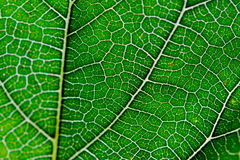 Leaf texture abstract background with closeup view on veins Stock Photography