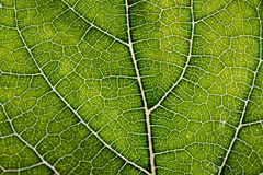 Leaf texture abstract background with closeup view on veins Royalty Free Stock Photos