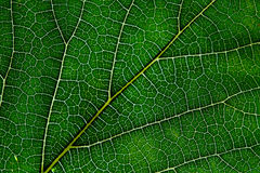 Leaf texture abstract background with closeup view on veins Stock Photo