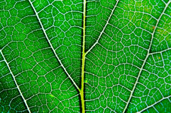 Leaf texture abstract background with closeup view on veins Stock Photos