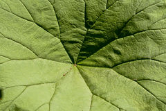 Leaf texture 1439 Stock Photography