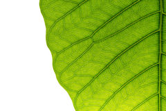 Leaf texture royalty free stock image