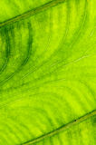 Leaf texture,background Stock Images