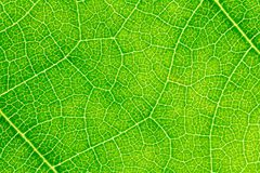 Leaf texture or leaf background for website template, postcard,  decoration and agriculture concept design. Leaf motifs that occurs natural Royalty Free Stock Images