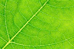 Leaf texture or leaf background for website template, postcard,  decoration and agriculture concept design. Leaf motifs that occurs natural Stock Photos