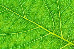 Leaf texture or leaf background for website template, postcard,  decoration and agriculture concept design. Leaf motifs that occurs natural Royalty Free Stock Photo