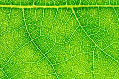 Leaf texture or leaf background for website template, spring beauty, environment and ecology concept design.  Stock Photo