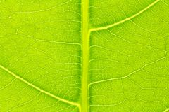 Leaf texture or leaf background for website template, spring beauty, environment and ecology concept design.  Royalty Free Stock Image
