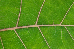 Leaf texture Stock Image