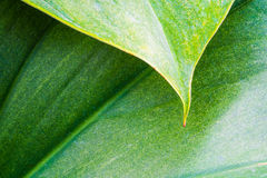 Leaf texture and chlorophyll dot Royalty Free Stock Photography