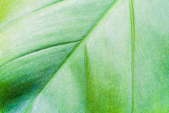 Leaf texture and chlorophyll dot Stock Images