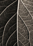 Leaf texture close up Stock Photography