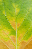 Leaf texture close up Royalty Free Stock Photos