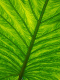 Leaf Texture. In close up detail Stock Photography