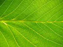 Leaf Texture. In close up detail Stock Photo