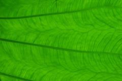 Leaf texture. Close up of leaf showing veins Stock Images