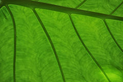 Leaf texture. Close up of leaf showing veins Stock Photo