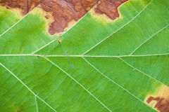Leaf texture closeup Royalty Free Stock Photos