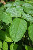 Leaf texture closeup. Green leaf texture detail closeup stock image