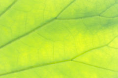 Leaf texture. Closeup of a green leaf texture with visible veins Stock Image
