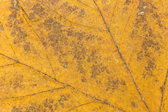 Leaf. Texture coloured leaf from autumn Royalty Free Stock Image