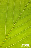 Leaf texture com. Green leaf texture with com sign Royalty Free Stock Photography