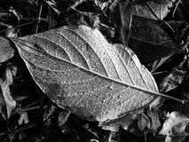 Leaf texture, detail, bw royalty free stock photography
