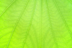 Leaf texture. Fresh natural leaf texture, closeup Stock Photography