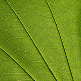 Leaf texture. Green line background Royalty Free Stock Images