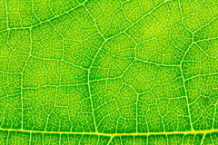 Leaf texture, leaf background. Royalty Free Stock Photography