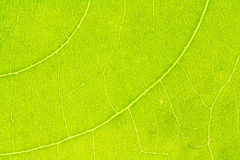 Leaf texture, leaf background. Stock Photography