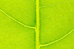 Leaf texture, leaf background for design. Royalty Free Stock Photography