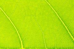 Leaf texture or leaf background for design. Stock Images