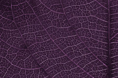 Leaf texture or leaf background for design. Royalty Free Stock Photography