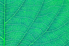 Leaf texture, leaf background for design. Royalty Free Stock Image