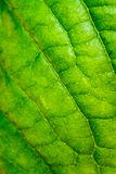 Leaf texture, leaf background for design of veins and chlorophyll Stock Photography