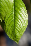 Leaf texture, leaf background for design of veins and chlorophyll Stock Photos