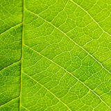 Leaf Texture Macro Royalty Free Stock Images