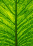 Leaf Texture. In close up detail Royalty Free Stock Photo