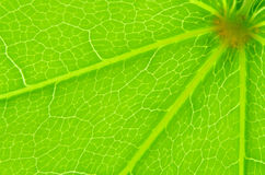 Leaf texture macro Stock Image