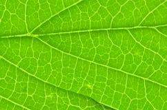 Leaf texture macro Stock Photography