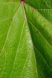 Leaf texture in sunshine Stock Images