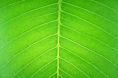 Leaf texture surface in transparent Royalty Free Stock Image