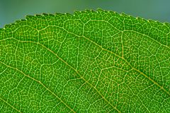 Leaf texture with veins Stock Image