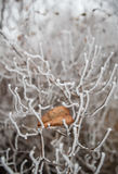 Leaf on thin branches covered with hoarfrost Stock Photos