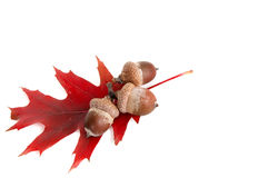 Leaf and three acorns #2. Stock Photography