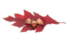 Leaf and three acorns Stock Image