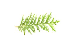 Leaf of thuja Royalty Free Stock Photography